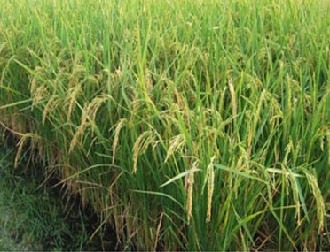 GST Rate of 5 % is applicable onCustom Milling of Paddy : AAR